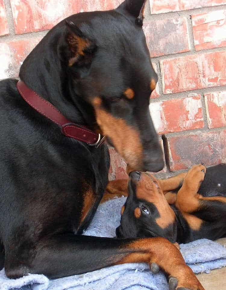 Doberman Puppies For Sale In Maine USA