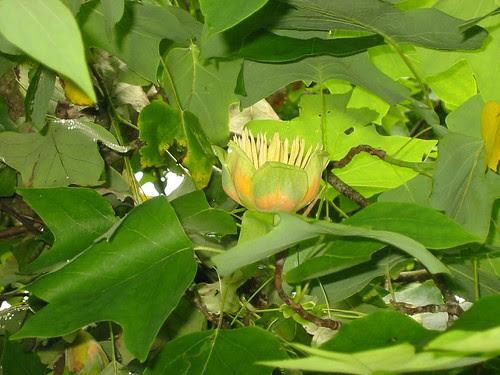 tuliptree 1