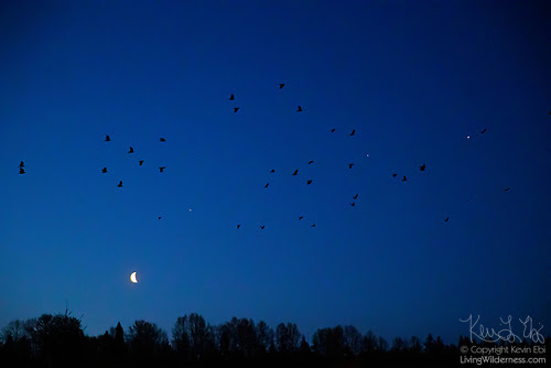 Crows, Moon, Mars, Jupiter, Saturn - Bothell, Washington