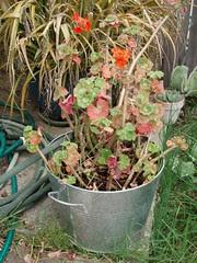 metal pot with geranium