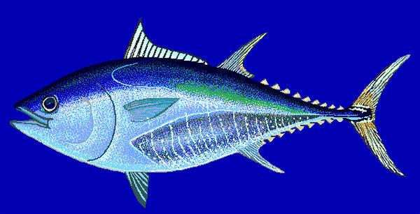 Atum azul, atum bluefin