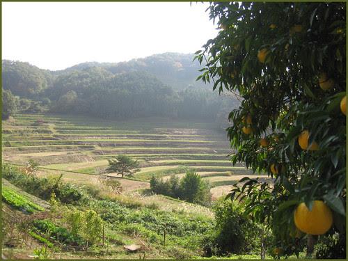 09 Ohaga oranges Tanada