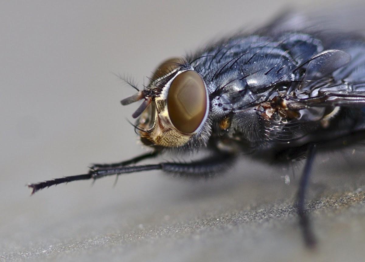 Fliege in groß, Makro