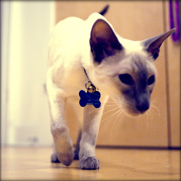 #sid #siamese #cat #kitty