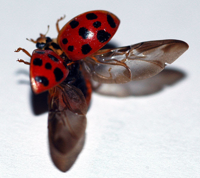 File:Lady beetle taking flight.jpg