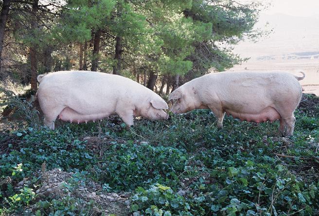 La producción porcina ha crecido en muchas zonas de forma insostenible