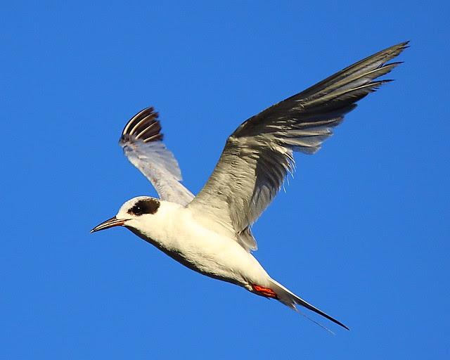 IMG_6060 Forster's Tern