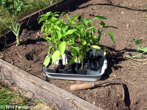 Planting Sweet Peppers 1