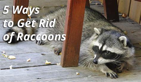 5 Ways to Get Rid of Raccoons   Atlanta Wildlife Control