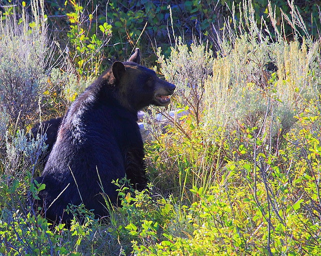 IMG_5769 Black Bear, Grand Teton National Park
