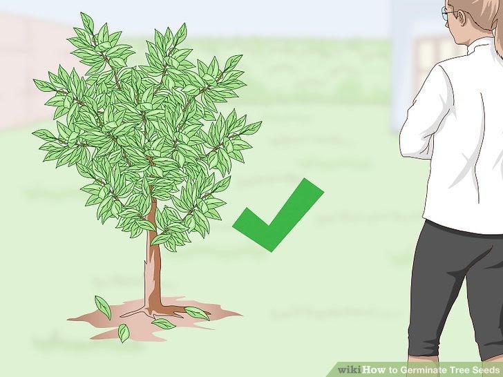 Germinate Tree Seeds Step 21.jpg