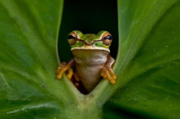 Sabin Award for Amphibian Conservation: last chance to nominate your hero!