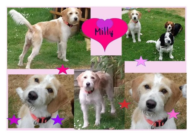 Milly – 10 month old female Bearded Collie Cross