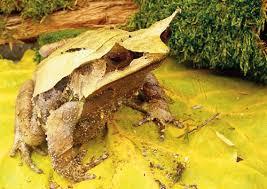 adalah hewan amfibia yang paling dikenal orang di Indonesia Megophrys Montana, Inilah Spesies Katak Jawa Yang Bertanduk