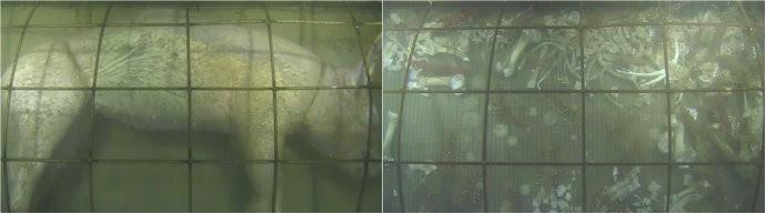 Montagem mostra porco no dia 1 e no dia 5 embaixo do oceano (Foto: Reprodução)