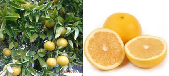 Grapefruit trắng vàng