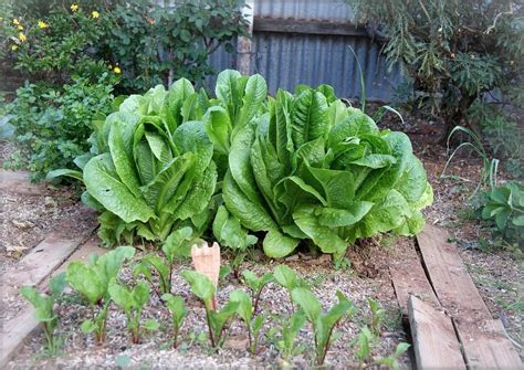 Garden Plans: Vegetables that Grow in Partial Shade   The
