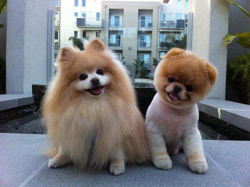 Boo-cute-dog-pomeranian-favim.com-452643_large