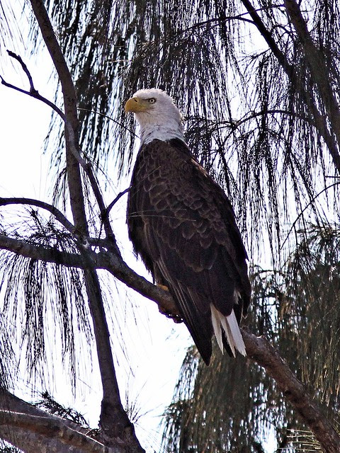 Bald Eagle adult female 20130402
