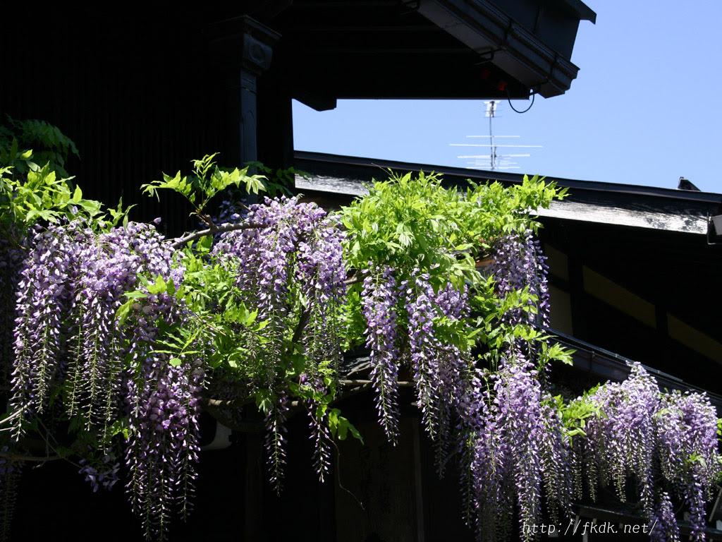 さんまちの藤の花の壁紙 風景写真無料壁紙