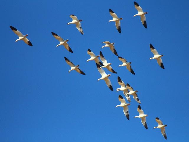 IMG_1238 Snow Geese