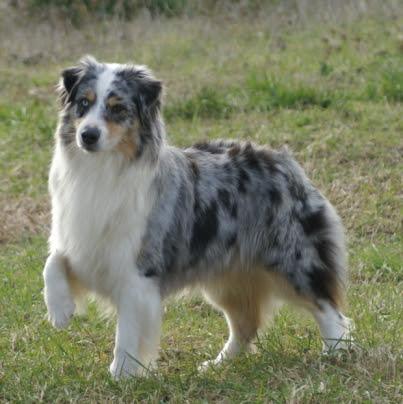 99+ Australian Shepherd Height