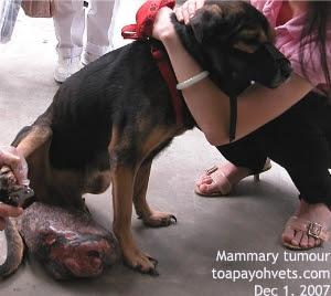 8-year-old dog, gigantic mammary tumour. Singapore. Toa Payoh Vets