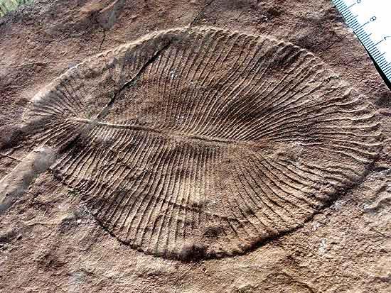 O fóssil da biota de Ediacara _Dickinsonia costata_, de 600 milhões de anos
