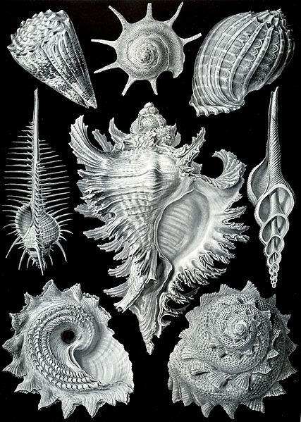 Archivo: Haeckel Prosobranchia.jpg