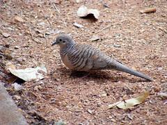 Columbidae>Geopelia placida Peacefull dove 0091