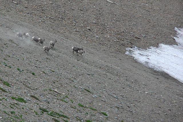 P1160606 Bighorn Sheep