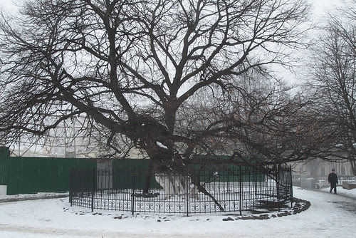 A really old linden tree