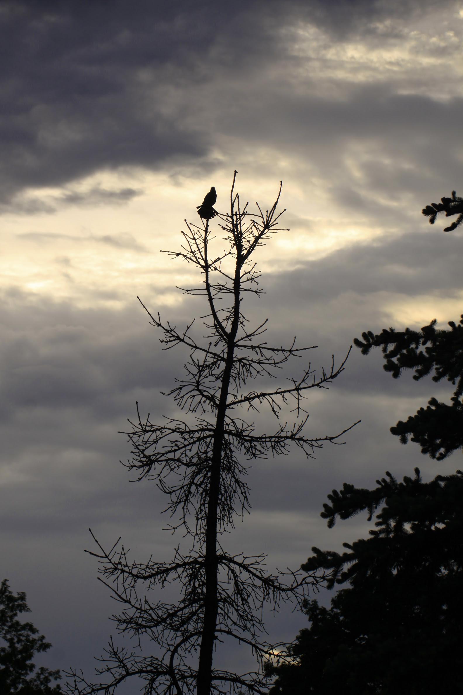 rwbb singing at dusk
