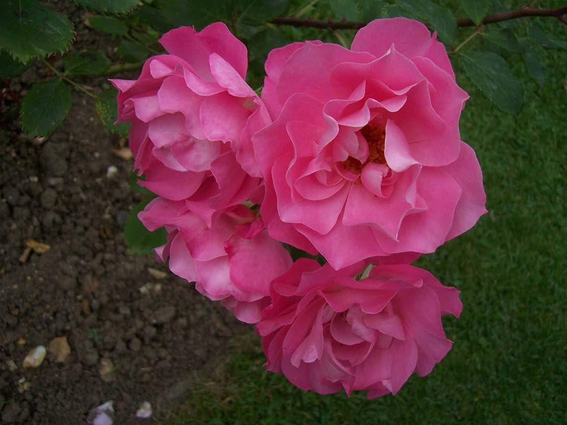 Photo de roses Tobago