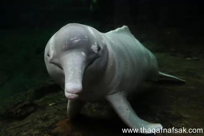 هل سمعت من قبل عن الدولفين الوردى