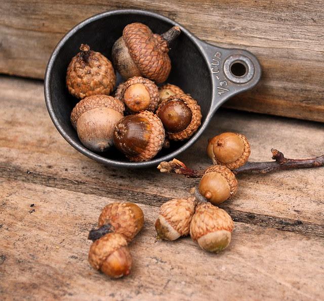 acorns 1