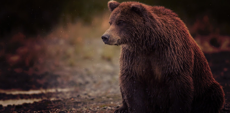 Grizzly Bear Wallpaper