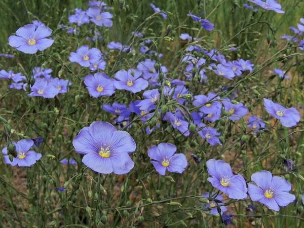 Vail Pass Blue Flax