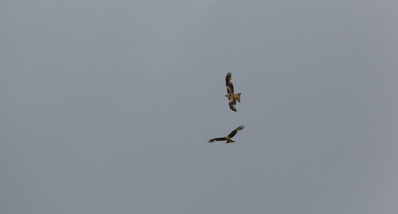 P1040848 - Red Kite Courtship