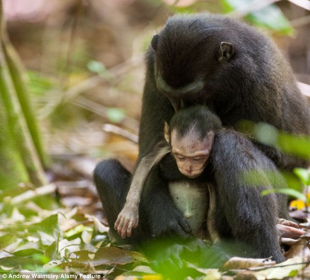 Endangered: Both mother and newborn are crested black macaques, classified as Critically Endangered