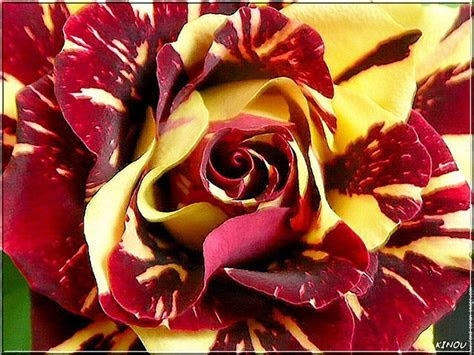 Use a bicolor rose with #Redskins colors.   Married to The