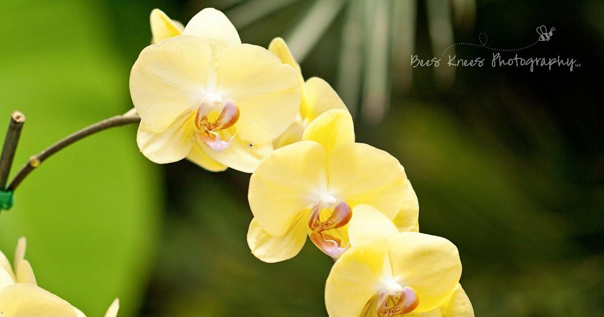 Eleletsitz Types Of Yellow Orchids Images