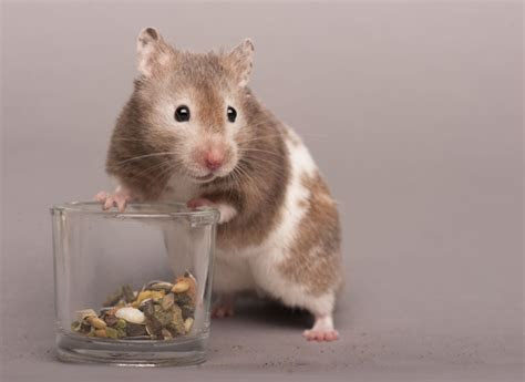 Information about rodents for potential rodent owners   Pets4Homes