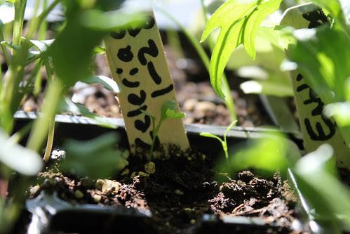 seedlings 032