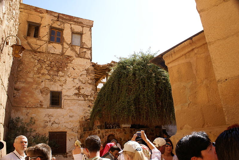 File:Rubus sanctus Burning bush in Saint Catherine monastery.jpg