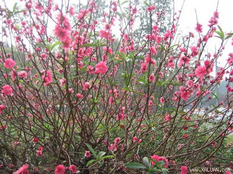 Những loài hoa đặc trưng cho ngày Tết cổ truyền shopping entertainments