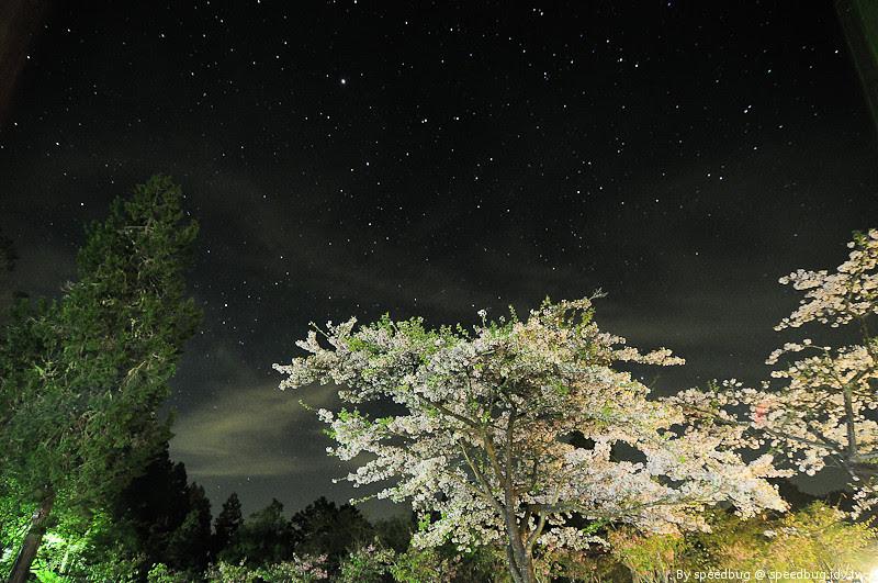 阿里山櫻花季1
