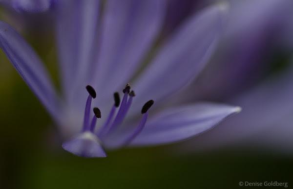 stamen in lavender