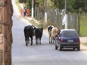 Outro flagrante de animais prejudicando o trânsito na cidade (Foto: TV Integração/Reprodução)