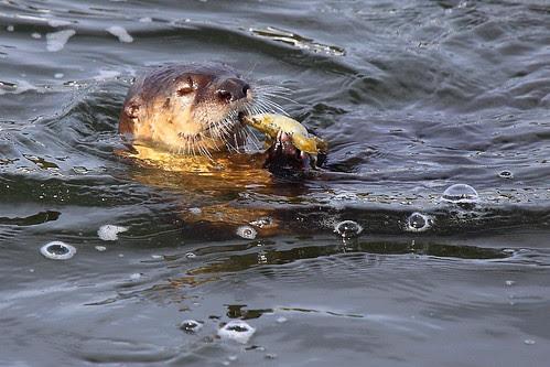 IMG_9969 Otter Enjoying Fish in Yellowstone River, Yellowstone National Park